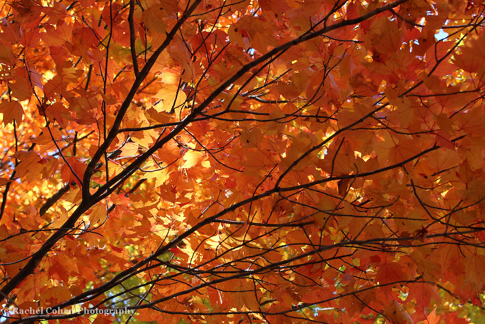 &quot;Golden Canopy&quot;<br />