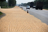 Corn Dried On side of the Road