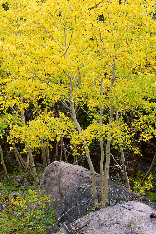 Vibrant yellow leaves of an Aspen in fall.  Rocky Mountain National Park, Colorado.
