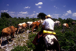 cowboy riding on a trail behind a group of cattle