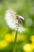 Photo dandelion flower, matted print, wall art, macro, close up. California nature, garden, photography. Santa Monica, Westside, Venice, Los Angeles, Fine art photography limited edition.