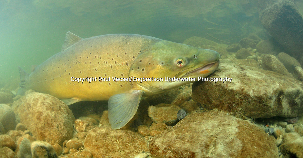 Brown Trout<br /> <br /> Paul Vecsei/Engbretson Underwater Photography