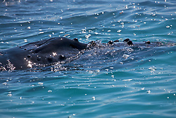 Close-up of a Humpback whale calf's head in Camden Sound on the Kimberley coast.