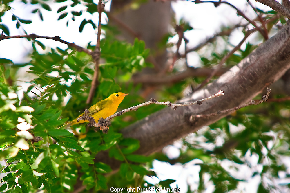 Bright Yellow Warbler with a light olive green tinge on back. Some populations are in danger due to pressure from cowbird overpopulation. Cowbirds lay an egg in warblers nest. Female warbler covers the alien egg and lays another clutch.