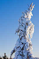 A snow caked evergreen tree reaches high into the sunny sky.  Snow covered trees like this are commonly referred to as sno ghosts.
