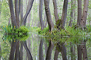 Erlen (Alnus spec.) spiegeln sich im Wasser  eines Bruchwaldes im NSG Großer und Kleiner Rohrpfuhl, Berlin, Deutschland. Reflection of Alder trees in the water of a fenwood in a nature reserve in Berlin, Germany.