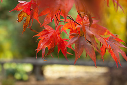Fall color at PLU, Thursday, Oct. 20, 2016. (Photo: John Froschauer/PLU)