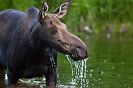 Cow moose in pond, Grand Teton National Park