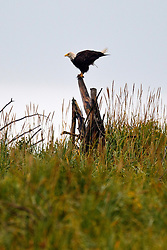 Bald Eagle (Haliaeetus leucocephalus) perched on a stump surrounded by grass, Lake Clark National Park, Alaska, United States of America