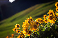 Arrowleaf Balsamroot on the RMF backlit by a fading sun after a lush spring