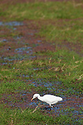 Cattle egret bird (Bubulcus ibis) in Ranthambhore National Park, Rajasthan, Northern India