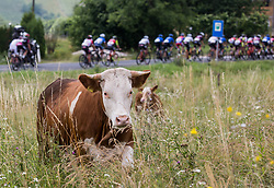 Cows during Stage 3 of 24th Tour of Slovenia 2017 / Tour de Slovenie from Celje to Rogla (167,7 km) cycling race on June 16, 2017 in Slovenia. Photo by Vid Ponikvar / Sportida