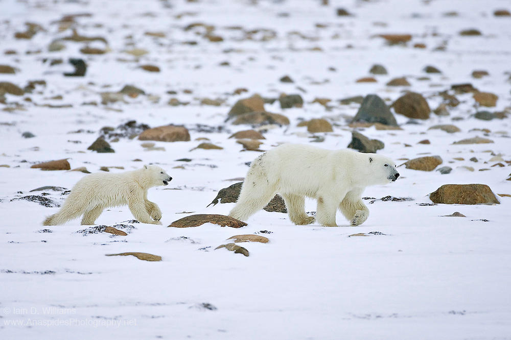 A mother polar bear and cub make their way across the rock-sewn snow landscape in the high Arctic in Canada