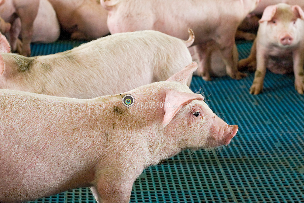 Suinocultura /Swines.Pecuaria, criacao de suinos para a producao de alimentos e derivados. Granja de suíno./ Pigs, also called hogs or swine, are ungulates native to Eurasia collectively grouped under the genus Sus within the Suidae family.The domestic pig (Sus scrofa domestica) is usually given the scientific name Sus scrofa.The domestic pig is farmed for its meat called pork, which is obtained by slaughter. Products made of pork include sausage, bacon and ham. Slaughterhouse for Swine..Foto © Adri Felden/Argosfoto