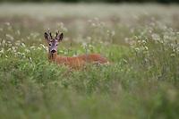 Roe deer (Capreolus capreolus) buck in wet meadow,  Nemunas regional reserve, Lithuania. Mission: Lithuania, June 2009