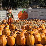 Scarecrow in pumpkin field