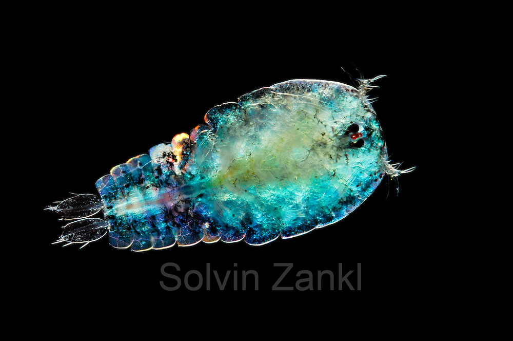 [captive] [Digital focus stacking] Marine Planktonic Copepod (Sapphirina sp.) Sapphirina, also called the sea sapphires is a copepod how is diffracting light with his exoskeleton. Atlantic Ocean, close to Cape Verde | Atlantischer Ozean, nahe Kap Verde