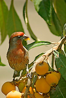 House Finch (Carpodacus mexicanus) Perched on Tree Eating Chinese Loquat Fruit, Southern California
