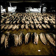 Morning catch, having been off loading from moored fishing boats, are laid out according to species in the pre-dawn at Katsuura's fish market for auction to brokers, Kii Peninsula, Japan. <br /> <br />  Japan is known for having some of the richest fisheries in the world feed by the sub-tropical, Kurashio Current from the south which meets the sub-arctic, Oyashio Current mixing their nutrients off the coast of Fukushima Prefecture.  Climate change warming of seas will change this dynamic and a WWF reports suggests that fish species long associated with particular seasons may decline and it's possible some species will become extinct.  Katsuura, Wakayama Prefecture, Japan