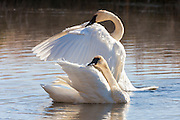 A pair of trumpeter swans (Cygnus buccinator) stretch their wings on a pond in the National Elk Refuge, Jackson Hole, Wyoming.