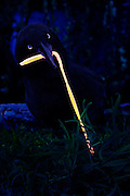 A crow struggles with a glowing worm in a grassy field at dawn.Black light