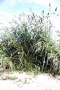 bundle of wild grass on the roadside