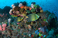 Semi Circle Angelfishes cruise a reef slope..Shot in Indonesia