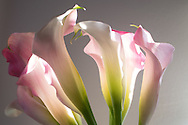 Light pink calla lilies lit up by the afternoon sun. Santa Monica, CA 6.3.15