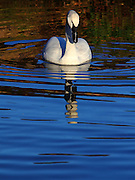 A trumpeter swan at the London Wetland Centre, Barnes, London in the later winter sun.