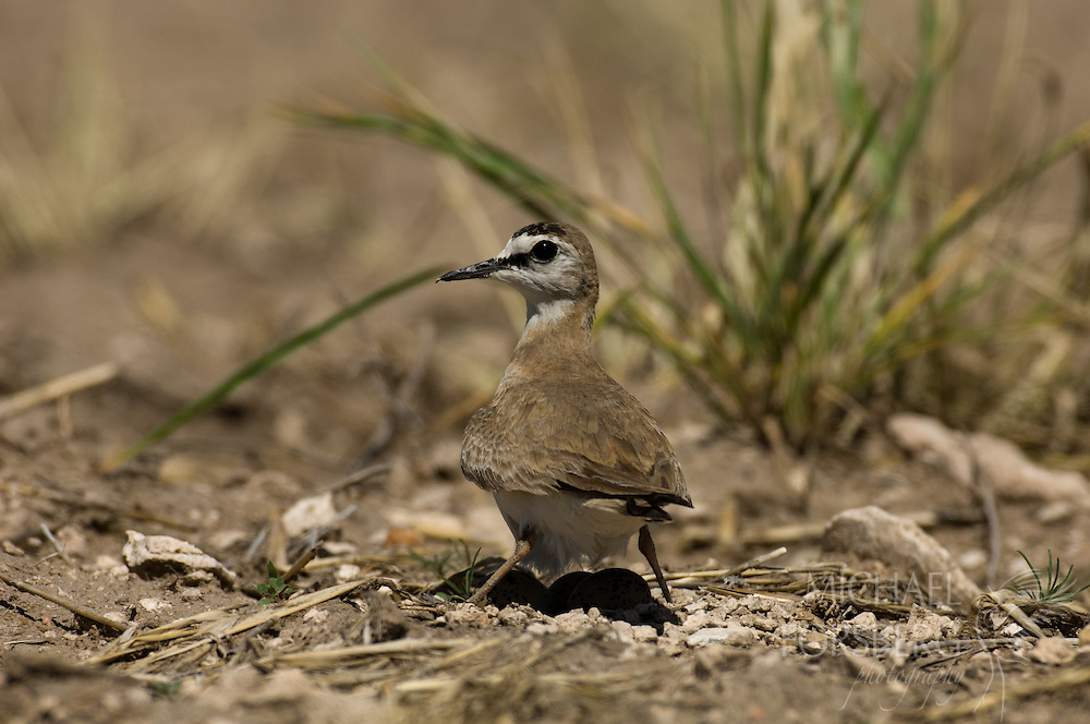 High Plains, Nebraska. Kimball county along the NE/CO border just north of Pawnee National Grassland.<br /> <br /> Mountain plover shading eggs midday on nest to regulate temperature.(federal endangered species list- IUCN Red List)