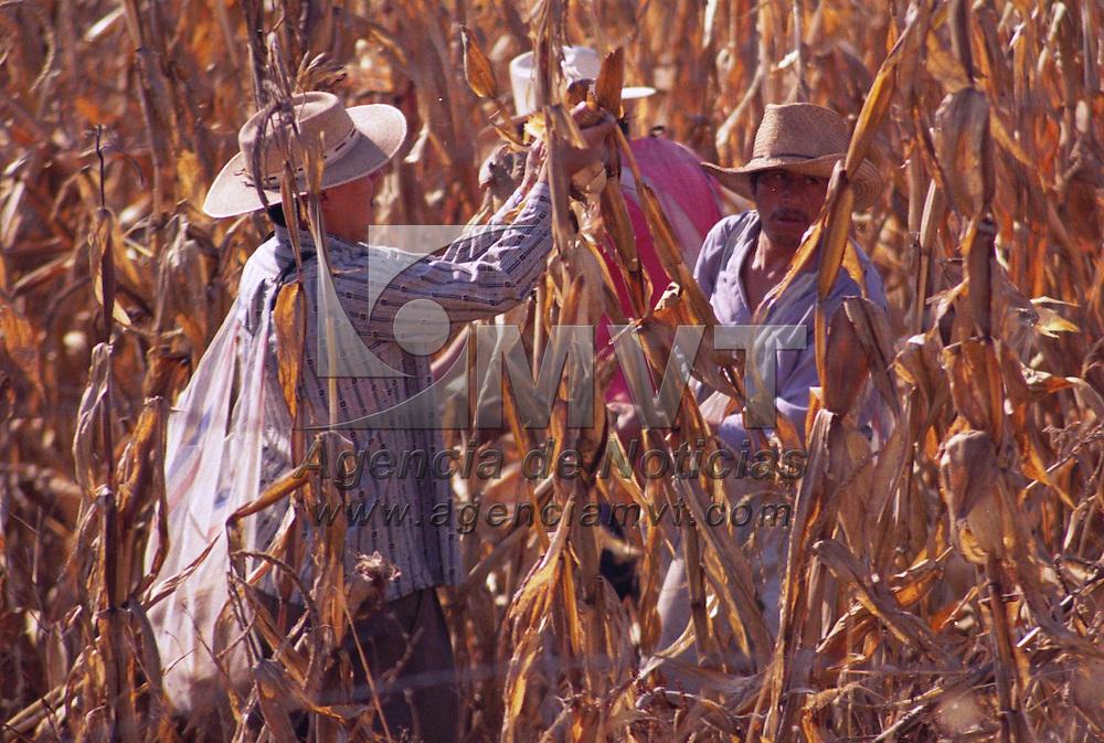 Toluca, M&eacute;x.- Campesinos de la regi&oacute;n recogen los masorcas del ma&iacute;s que no fue cosechado. Agencia MVT / Arturo Rosales Ch&aacute;vez. (FILM)<br /> <br /> NO ARCHIVAR - NO ARCHIVE