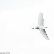 Egret, Magnolia Gardens South Carolina