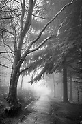 Heavy fog infiltrates the deeper reaches of Lady Canning's Plantation, Sheffield, on the boundary of the Peak District National Park. Such conditions leading to an atmospheric and somewhat mysterious image as we see the tree lined path disappear into the depths of the woodland. Winter in South Yorkshire. January, 2018.