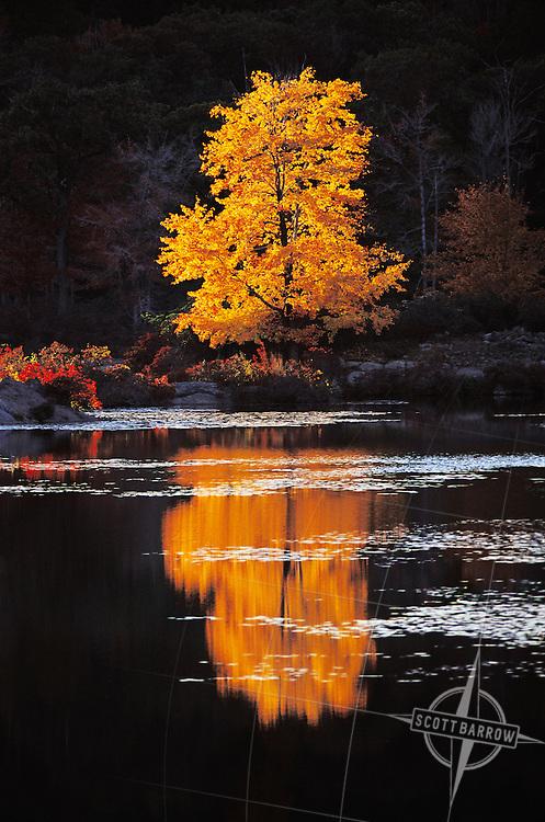 Dramatic tree in yellow fall foliage reflected in a calm lake.