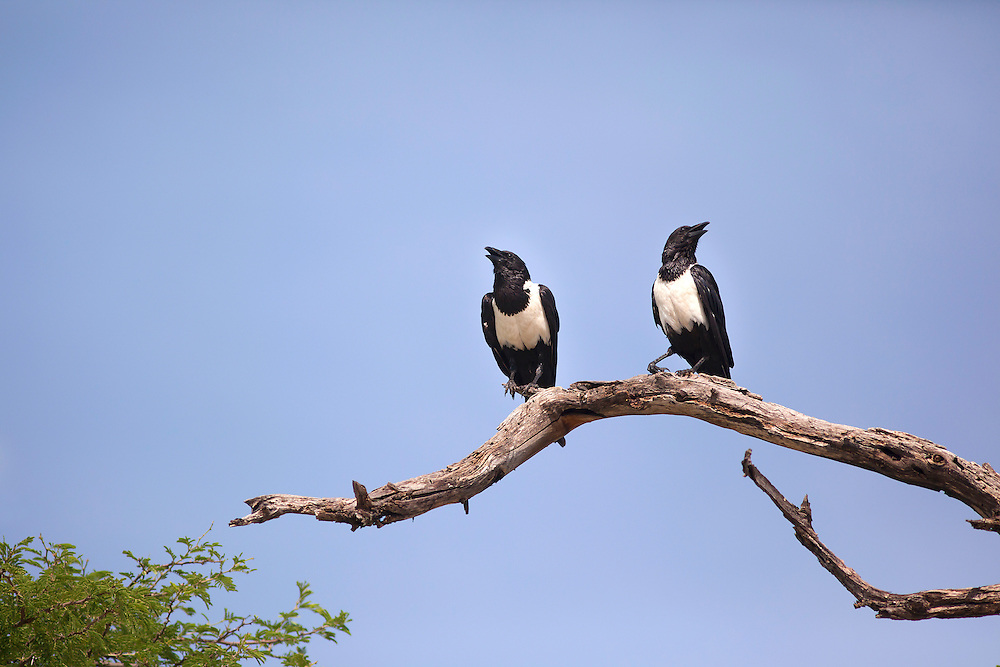 A pair of Pied Crows on a branch, Botswana