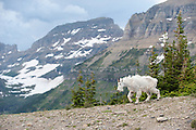 A mountain goat walks in front of the Garden Wall in Glacier National Park.