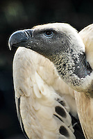 Cape Vulture, South Africa.<br />