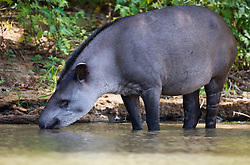 A tapir (Tapirus terrestris) drinking along the river's edge in the morning, Mato Grosso, Pantanal, Brazil,South America