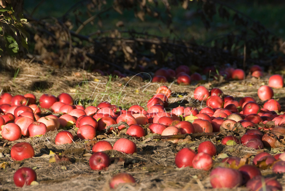 Ripe red apples which have dropped from the tree lie on the ground in an orchard in Connecticut.