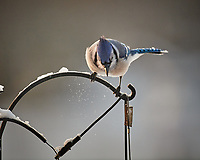 Blue Jay. Image taken with a Nikon D5 camera and 600 mm f/4 VRII lens (ISO 1600, 600 mm, f/4, 1/1250 sec)