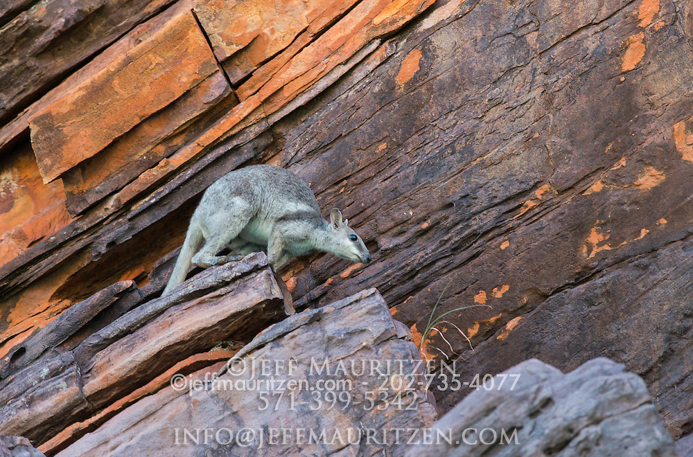 Image of a short-eared rock-wallaby in Western Australia.