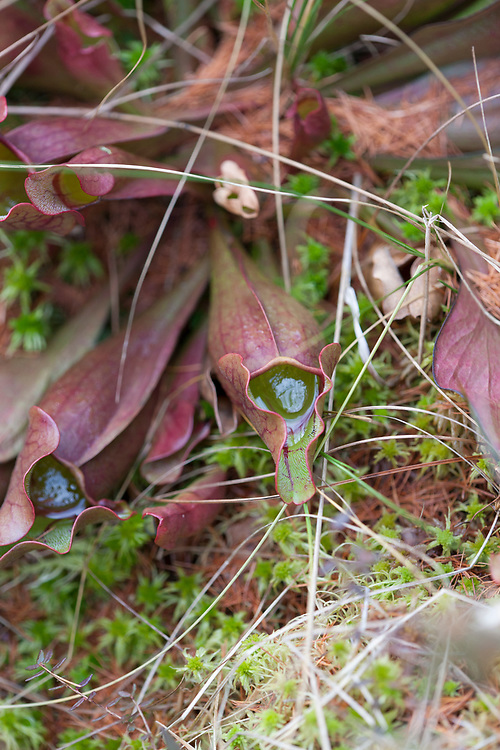Pitcher Plant (Sarracenia purpurea) growing in a spruce bog