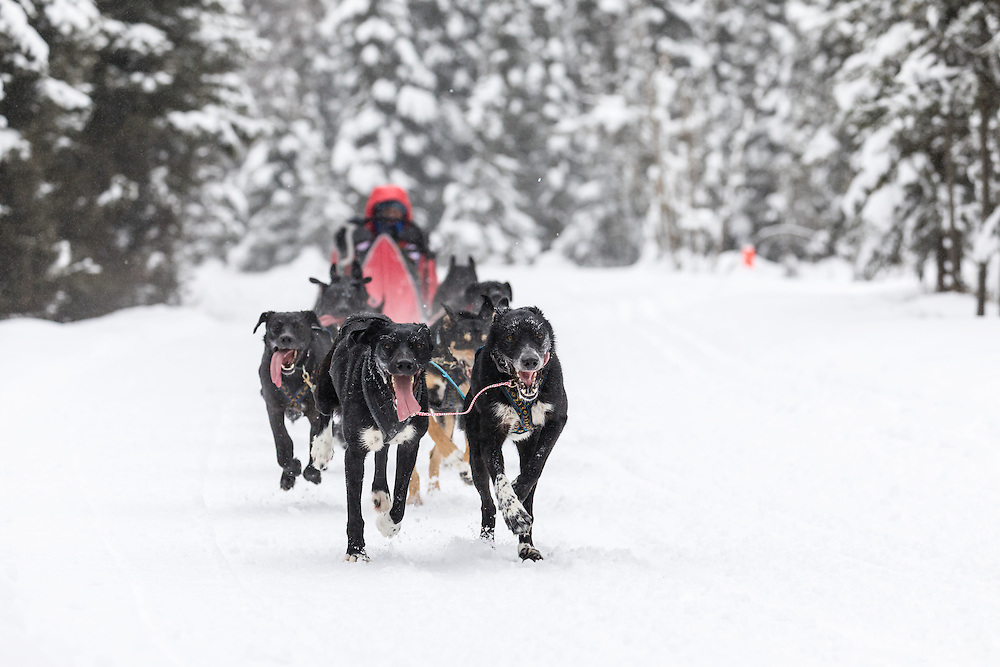 Musher Emilie Entrikin competing in the Fur Rendezvous World Sled Dog Championships at Goose Lake in Anchorage in Southcentral Alaska. Winter. Afternoon.