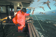 Fisherman John Macgregor, aboard the boat he part-owns named My Amber, removing a prawn from a newly-hauled creel. Mr Macgregor and his colleague Davie Smith spend an entire day fishing for prawns off Scotland's west coast in a marine 'box' in the inner sound of Rona which restricts entry to large trawlers looking for white fish and allows around 16 creelers unrestricted fishing.