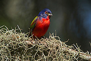 Painted bunting (Passerina ciris)<br /> Little St Simon's Island, Barrier Islands, Georgia<br /> USA<br /> HABITAT & RANGE: Semi-open areas or woodland native to North America