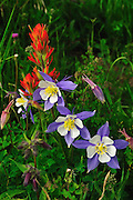 A striking combination of color when paintbrush and columbine are photographed together.