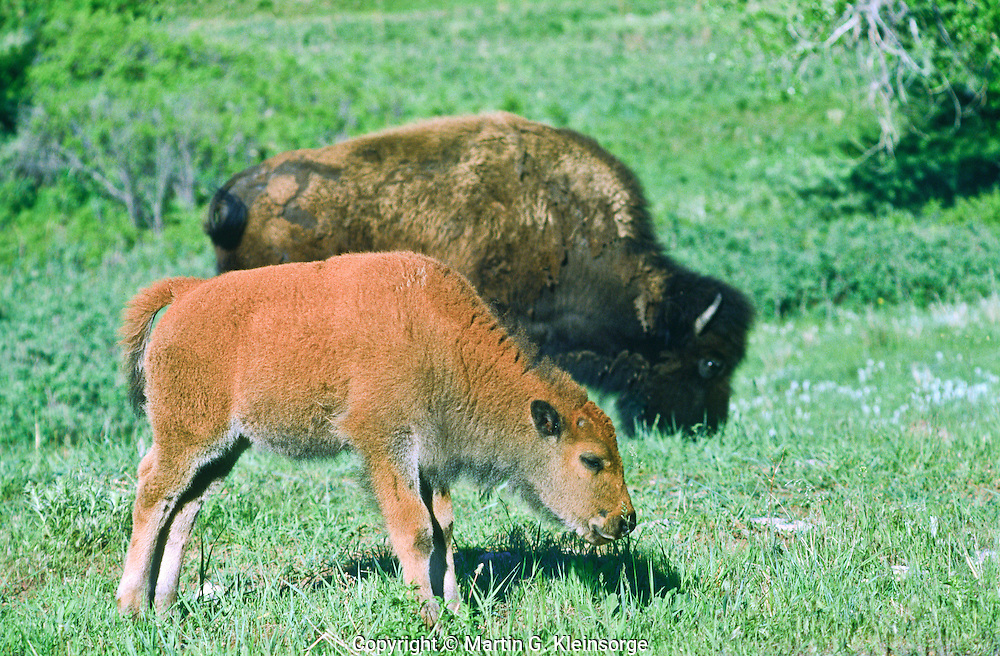 Bison (Bison bison) Cow bison and calf grazing.  Custer State Park, South Dakota.