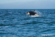 southern resident orca, or killer whale, Orcinus orca, porpoising out of the water, off southern Vancouver Island, Strait of Juan de Fuca, British Columbia, Canada ( Eastern North Pacific Ocean ); #1 in sequence of 4