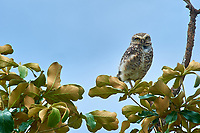 Burrowing Owl (Athene cunicularia) perched on tree branch,  Chapada dos Guimaraes , Matto Groso, Brazil