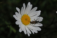 This beetle is just chilling out on a daisy in upstate, NY.